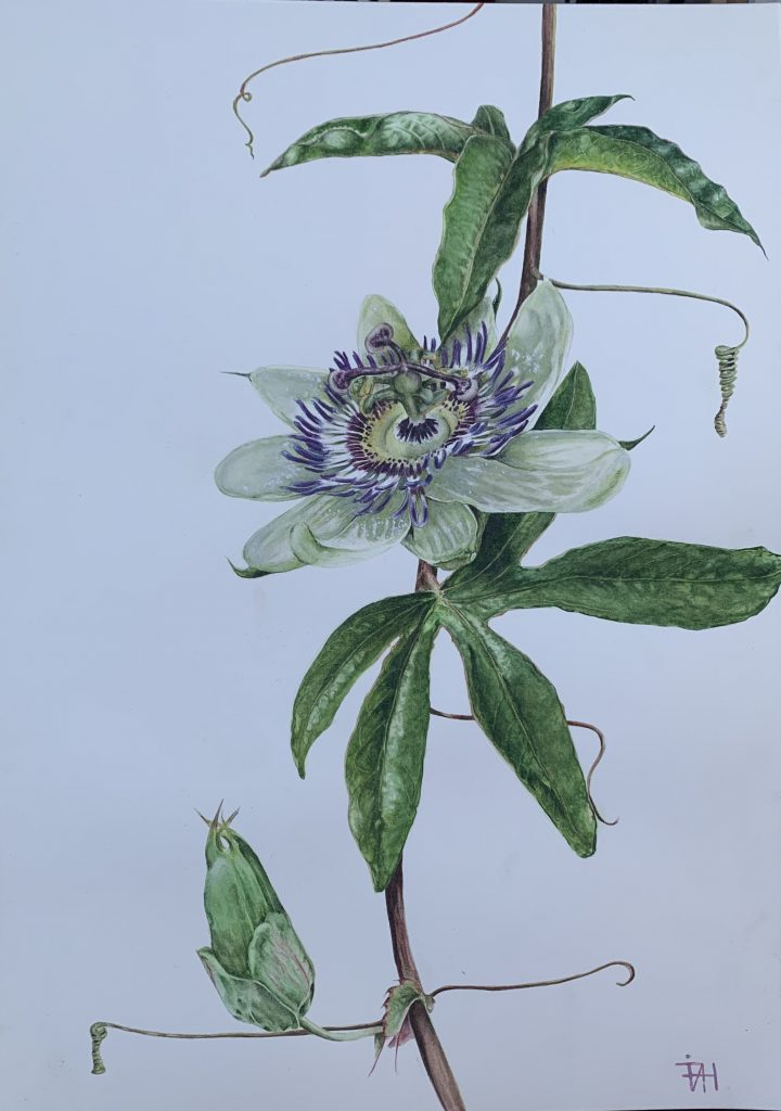 Passionflower: Original watercolour by franscienceart